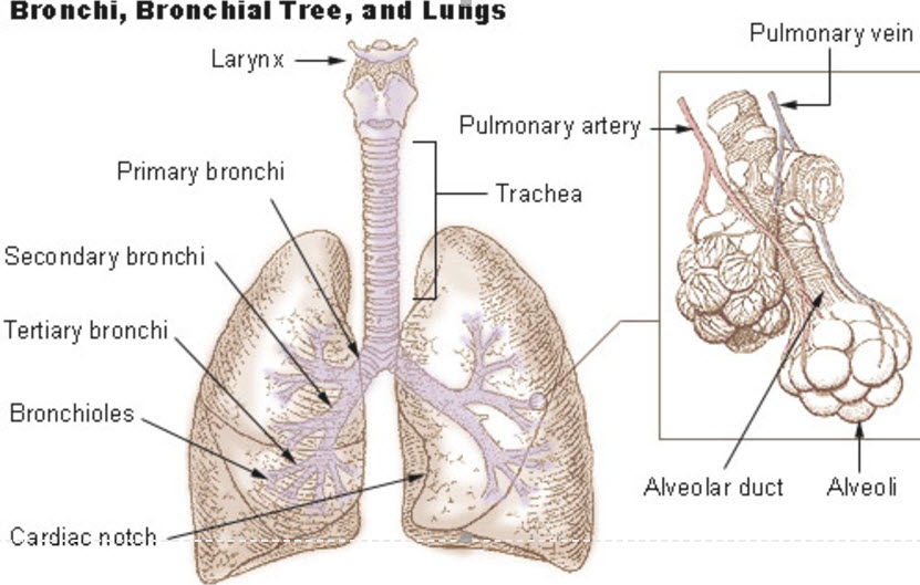 NCLEX Topics The Respiratory System NCLEX Test Online Review